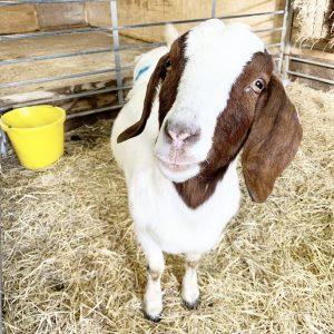 15 Февраля в Норфолке, Англия любимицу фермы — козу назвали в честь Селены